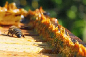 Propolis - Superfoods