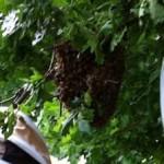 swarm-beekeeping