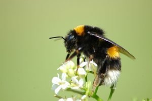 A Bombus terrestris worker collecting nectar